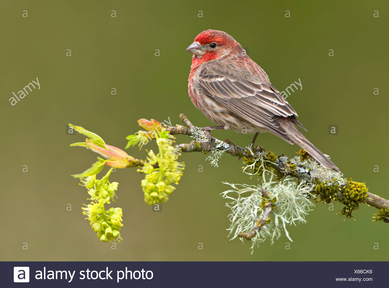 House finch (Carpodacus mexicanus) on budding apple tree branch, Victoria, Vancouver Island, British Columbia, Canada - Stock Image