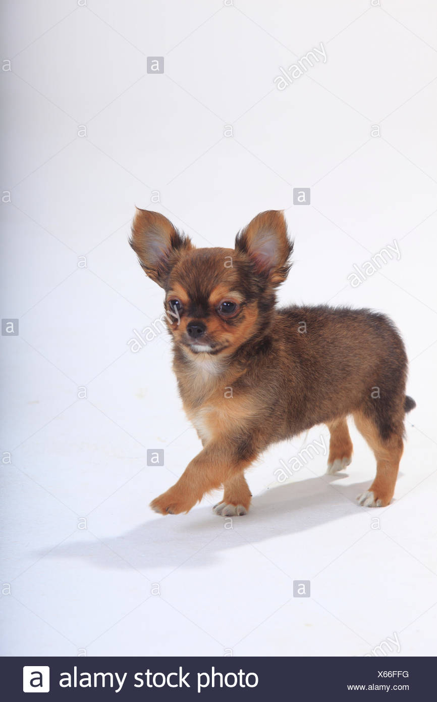 Chihuahua, longhaired puppy, 9 weeks, standing portrait. Stock Photo