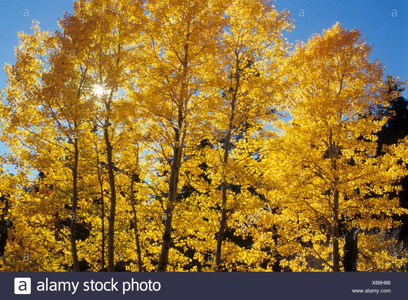 Autumn aspen with sunburst at Stairstep Spring, Fremont National Forest, Oregon. - Stock Image