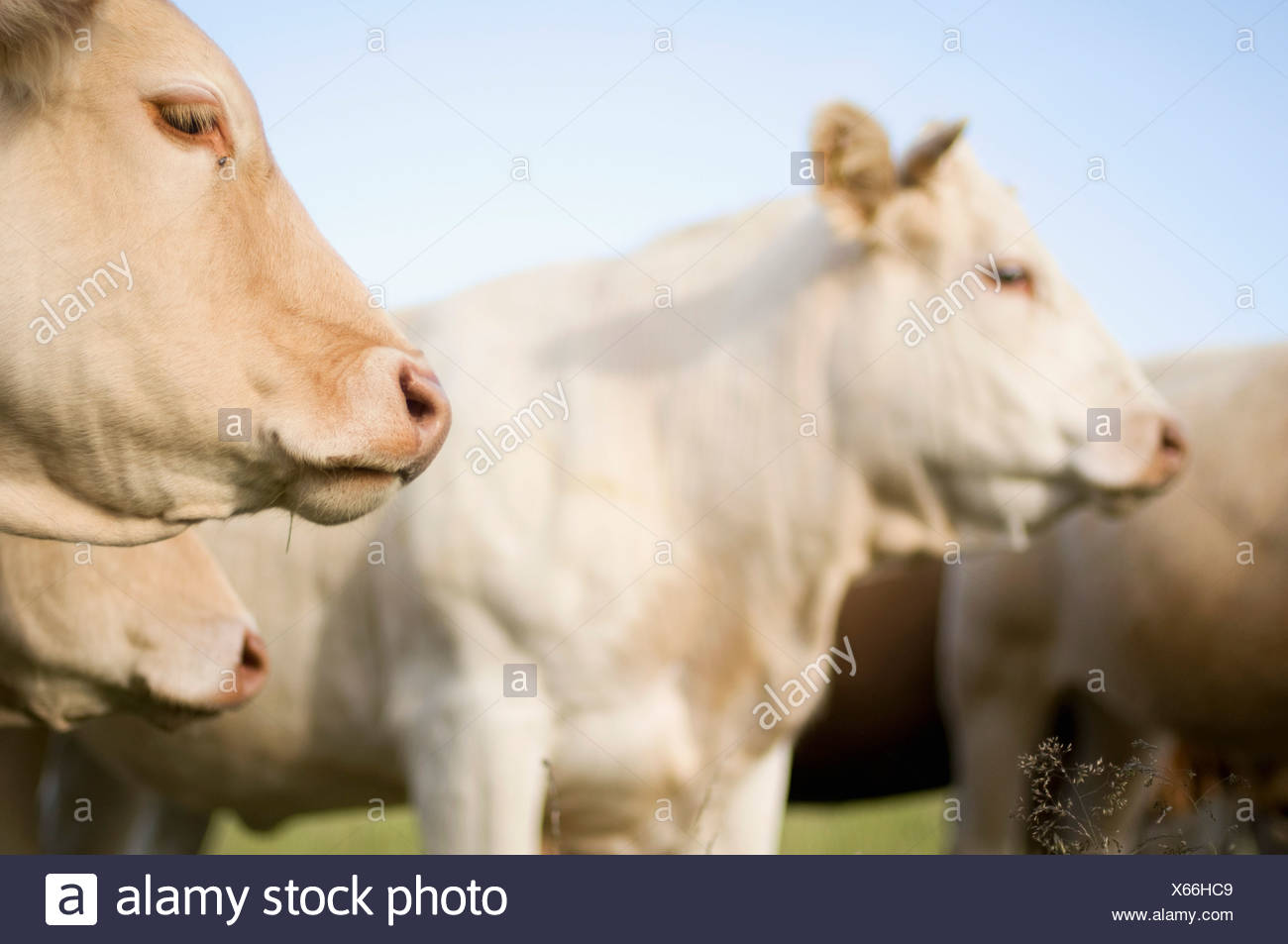 Cows - Stock Image