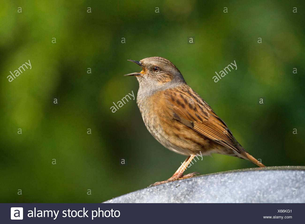 dunnock (Prunella modularis), male sings on a gravestone, Germany, Mecklenburg-Western Pomerania - Stock Image