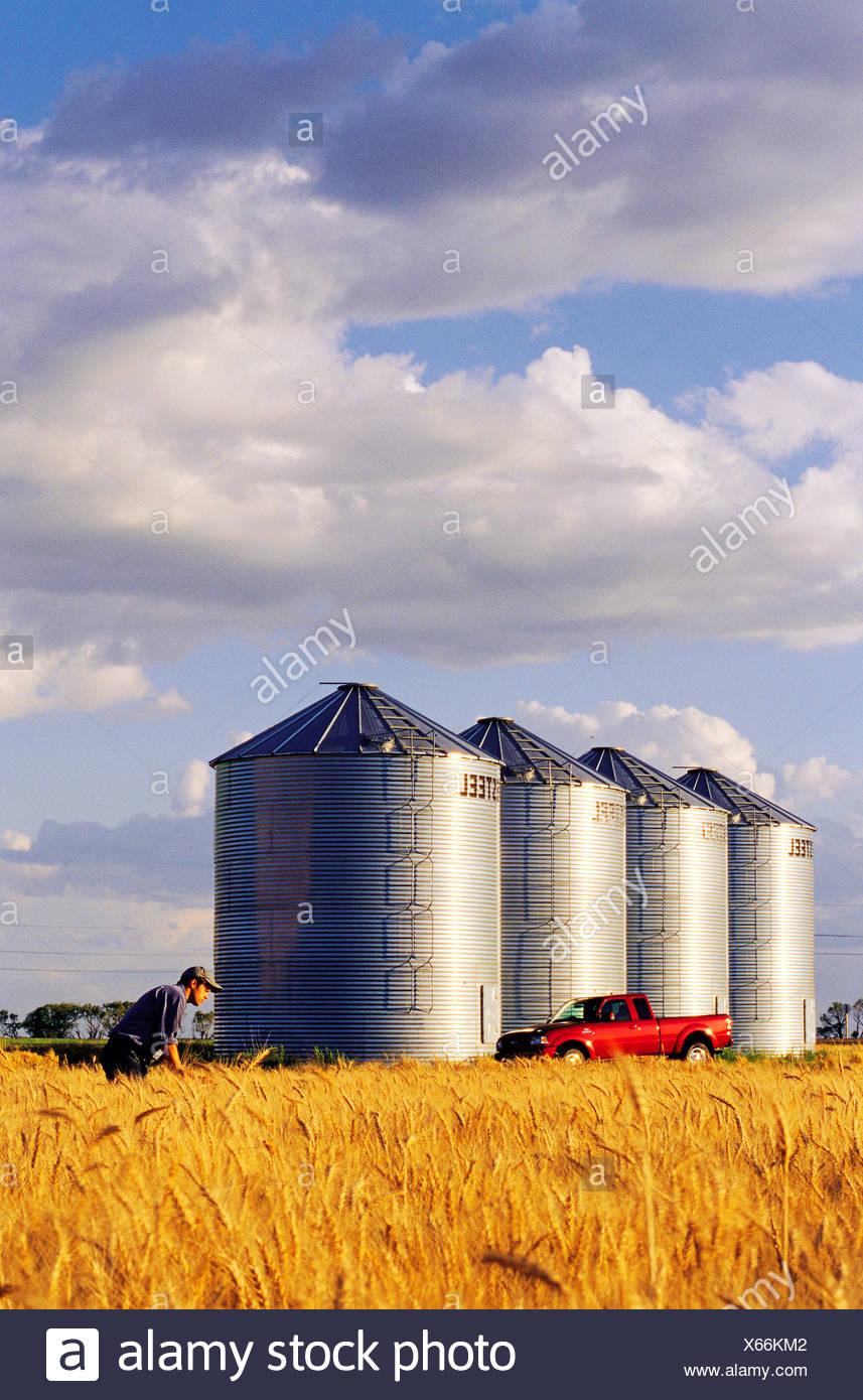 A farmer checks his mature winter wheat crop with grain storage bins in the background near Carey, Manitoba, Canada - Stock Image