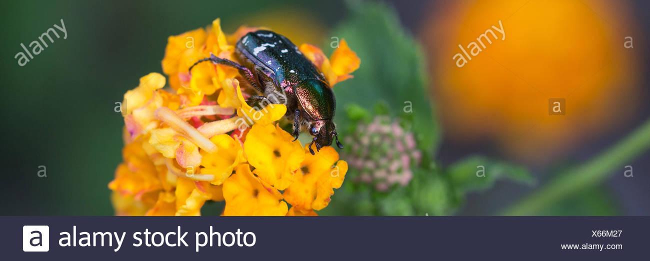 mourning rose beetle on orange blossom (oxythyrea funesta) - Stock Image