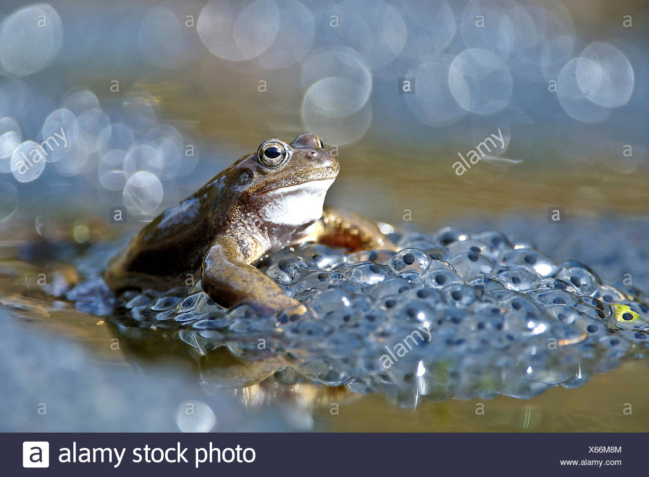 common frog, grass frog (Rana temporaria), frog in spawn clump, Germany - Stock Image