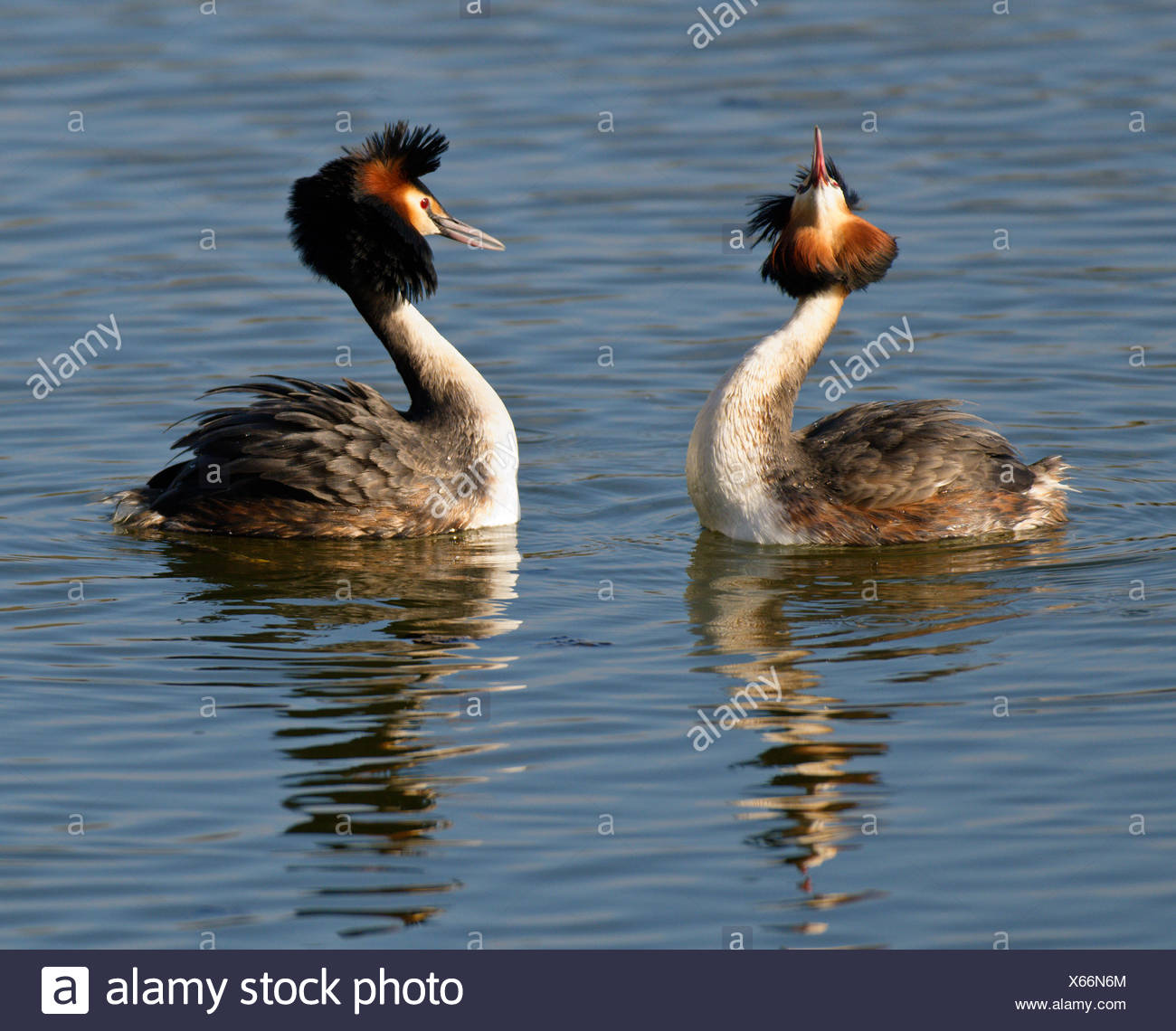 Pair of Great Crested Grebes (Podiceps cristatus) displaying - Stock Image