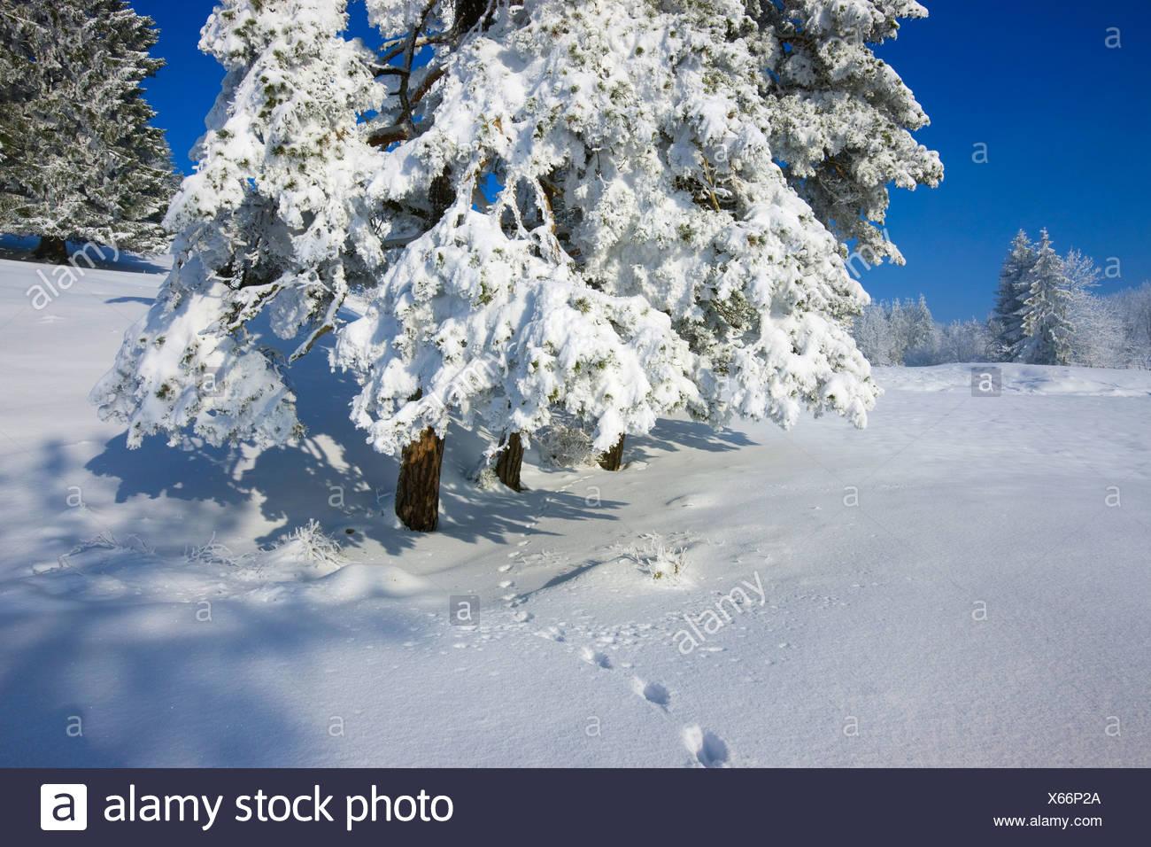 Saint Brais, Switzerland, Europe, canton Jura, trees, snow, hoarfrost, cold, winter, tracks, traces, animal tracks - Stock Image