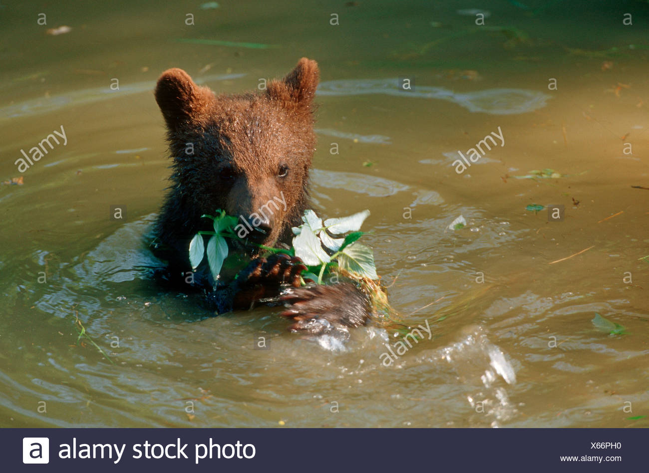 young brown bear in water / Ursus arctos Stock Photo