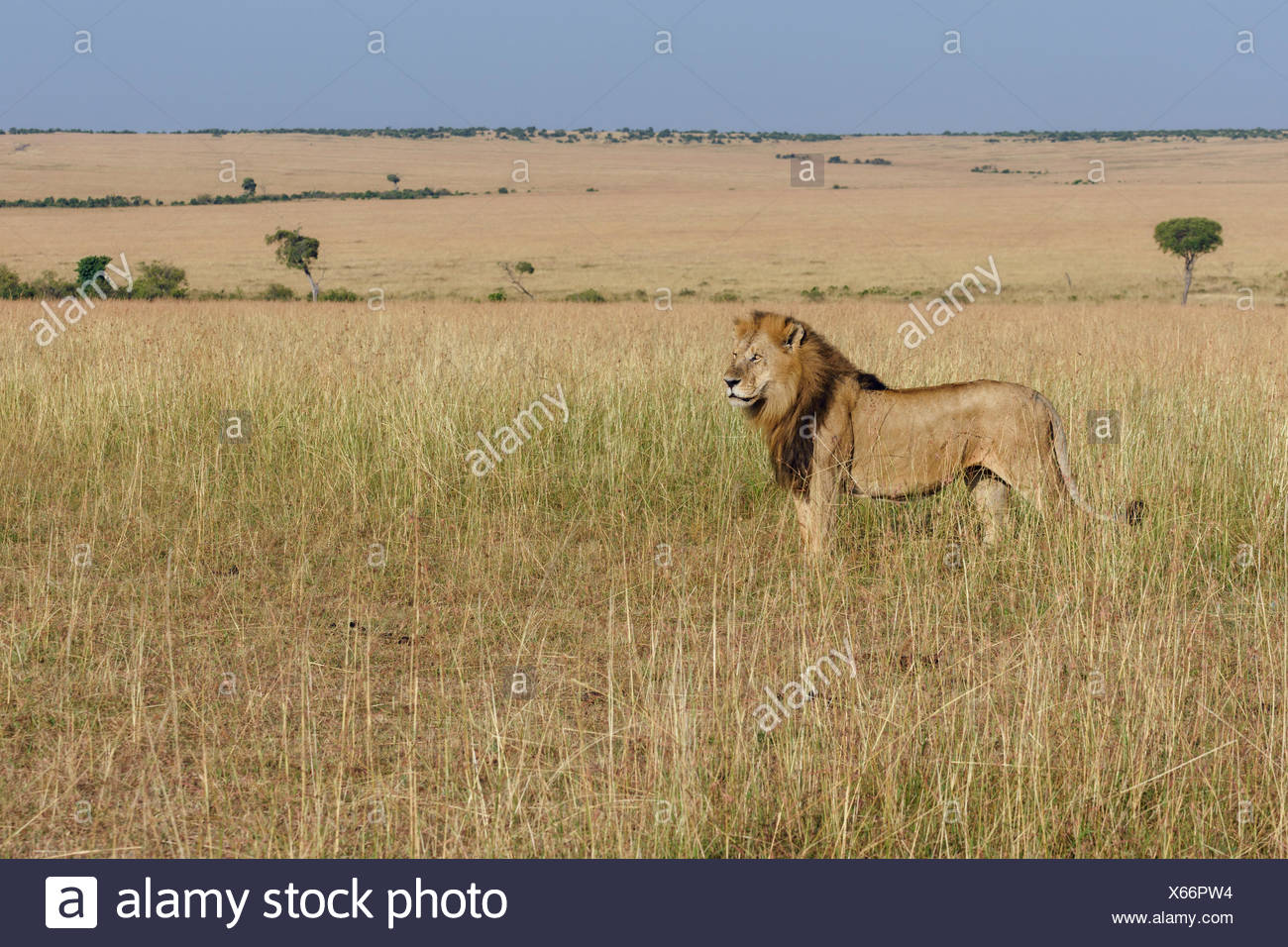 Lion (Panthera leo), male in grassland, Masai Mara, Narok County, Kenya - Stock Image