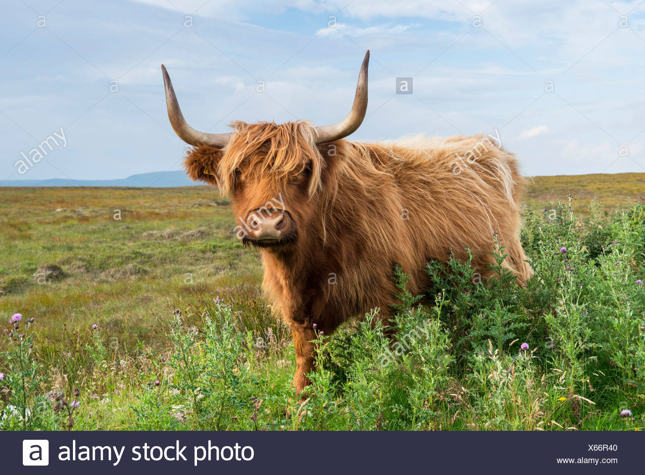 Scottish Highland Cattle or Kyloe, northern Scotland, Scotland, United Kingdom, Europe - Stock Image