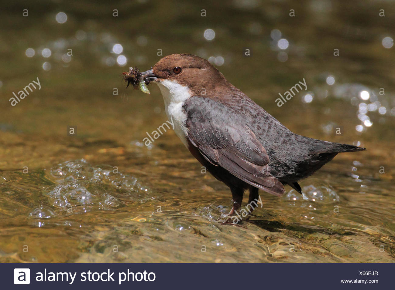 Creek, brook bed, Cinclus cinclus, eat, Eurasian, common dipper, dipper, fauna, riverbed, spring, feed, feeding, food, nature, u - Stock Image