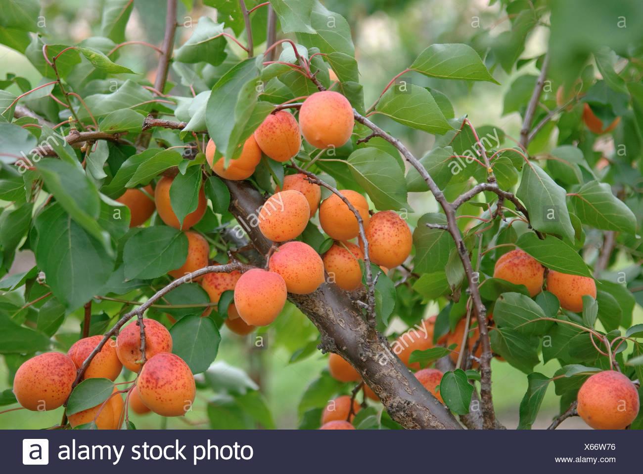 apricot tree (Prunus armeniaca 'Orangered', Prunus armeniaca Orangered), cultivar Orangered, apricots on a tree - Stock Image