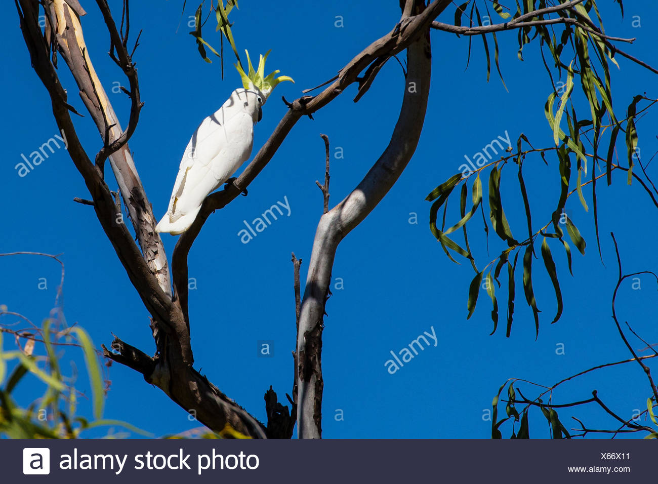 A Sulpher-crested Cockatoo (Cacatua galerita) perched on a branch near Ord River in the Kimberley Region of Northwest Australia. - Stock Image