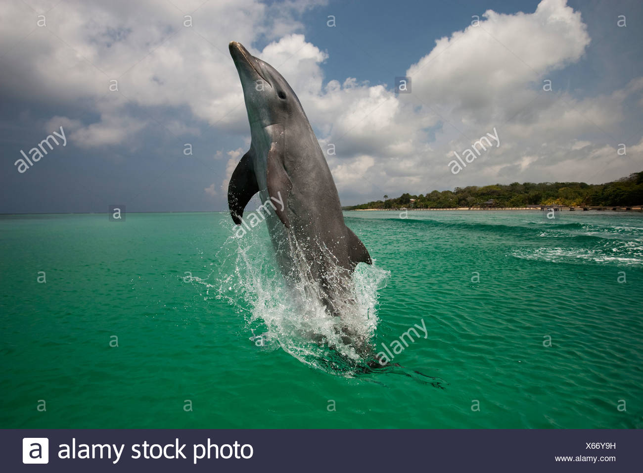 Bottlenose Dolphin, Honduras Stock Photo