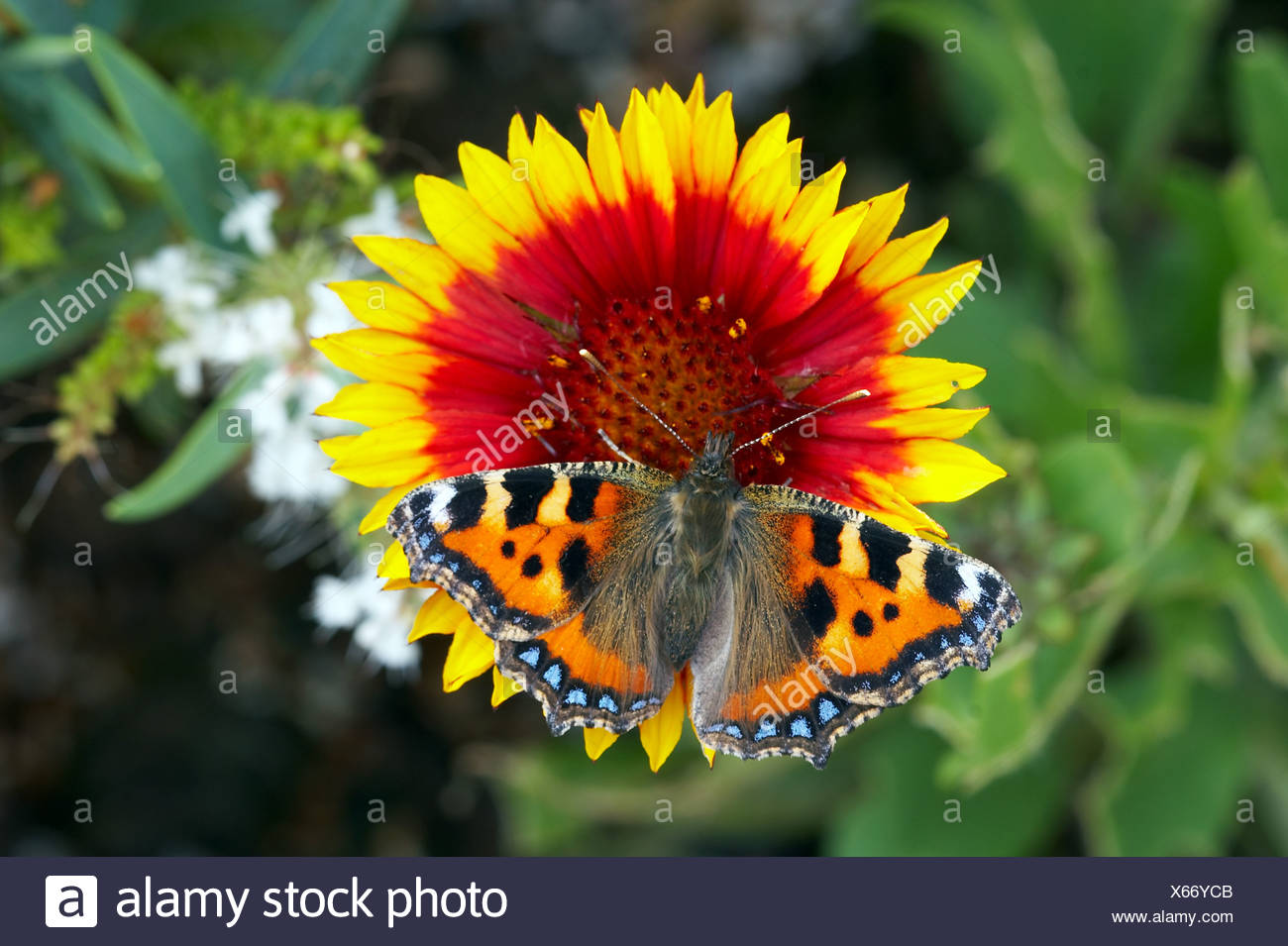 animal animals butterfly butterflies insect insects invertebrate invertebrates arthropod arthropods tortoiseshells europe - Stock Image