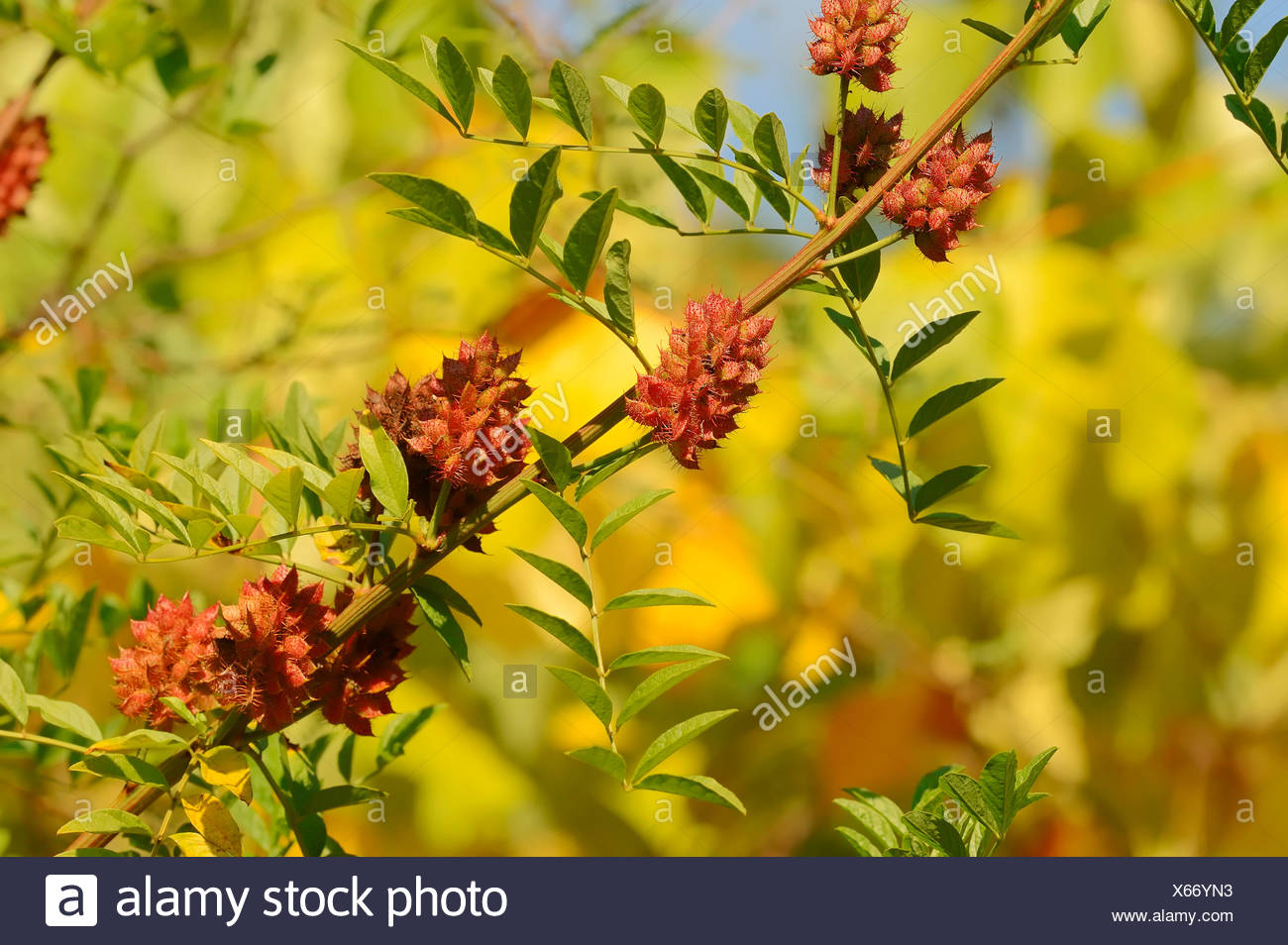Licorice (Glycyrrhiza glabra), branch with fruit, Germany Stock Photo