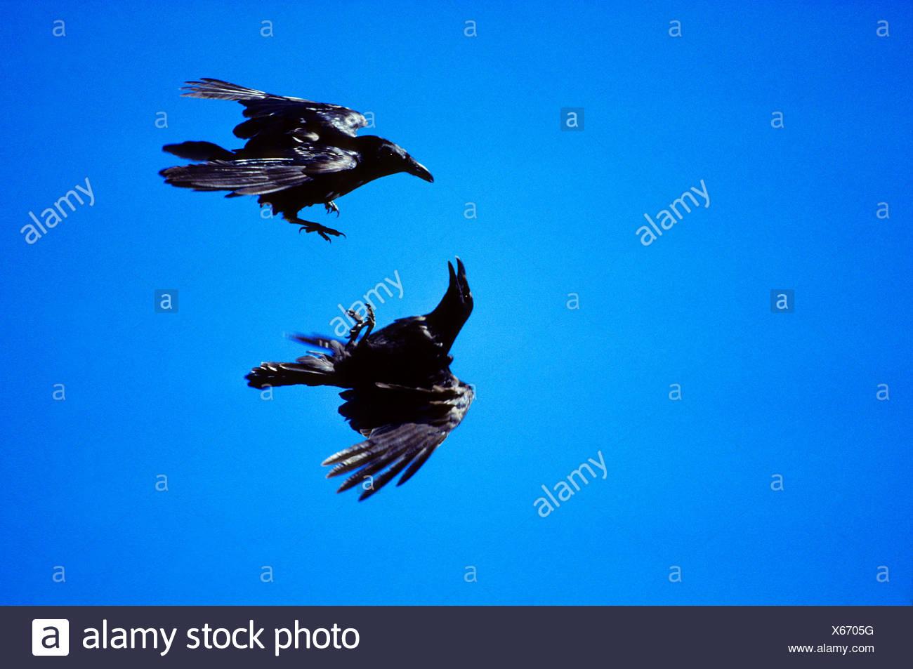 Aerial Courtship in common ravens (Corvus corax).  Alberta, Canada. - Stock Image