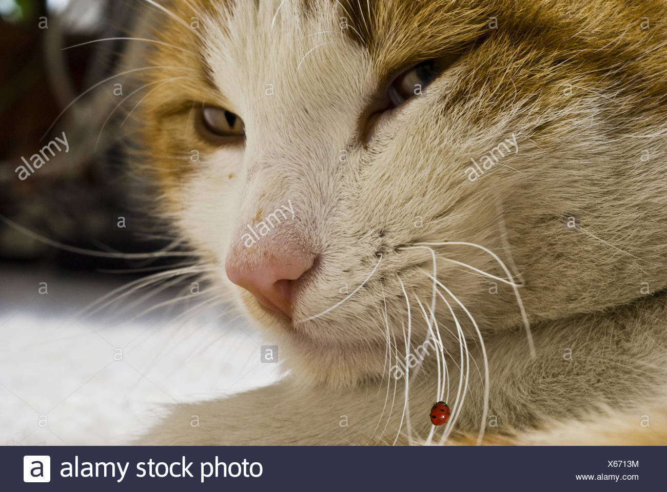 cat with ladybird on the wiskers Stock Photo