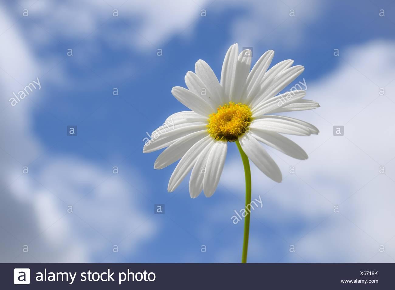 Daisy flower against partly cloudy blue sky - Stock Image