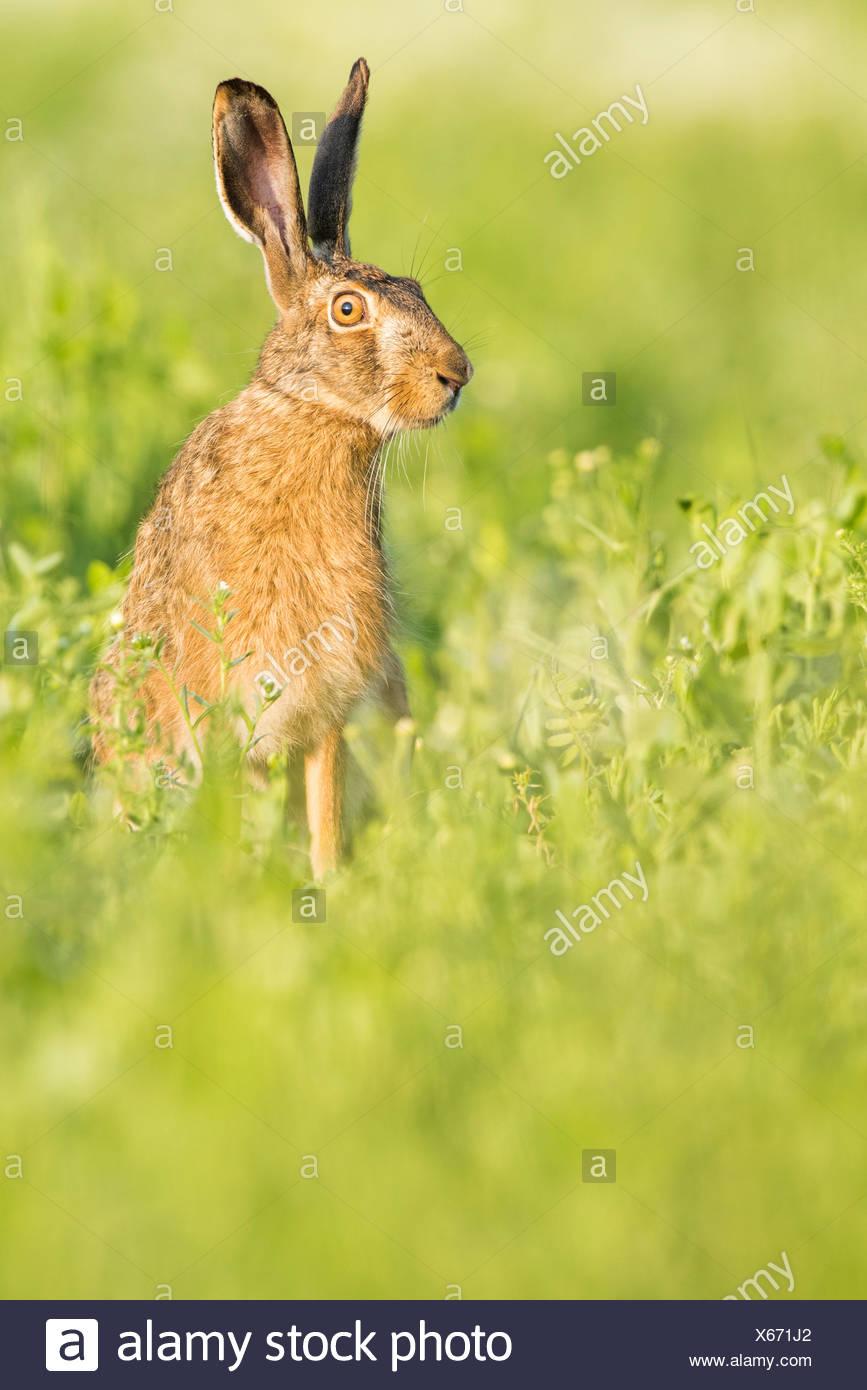 European hare (Lepus europaeus) sitting in field, Lower Austria, Austria - Stock Image
