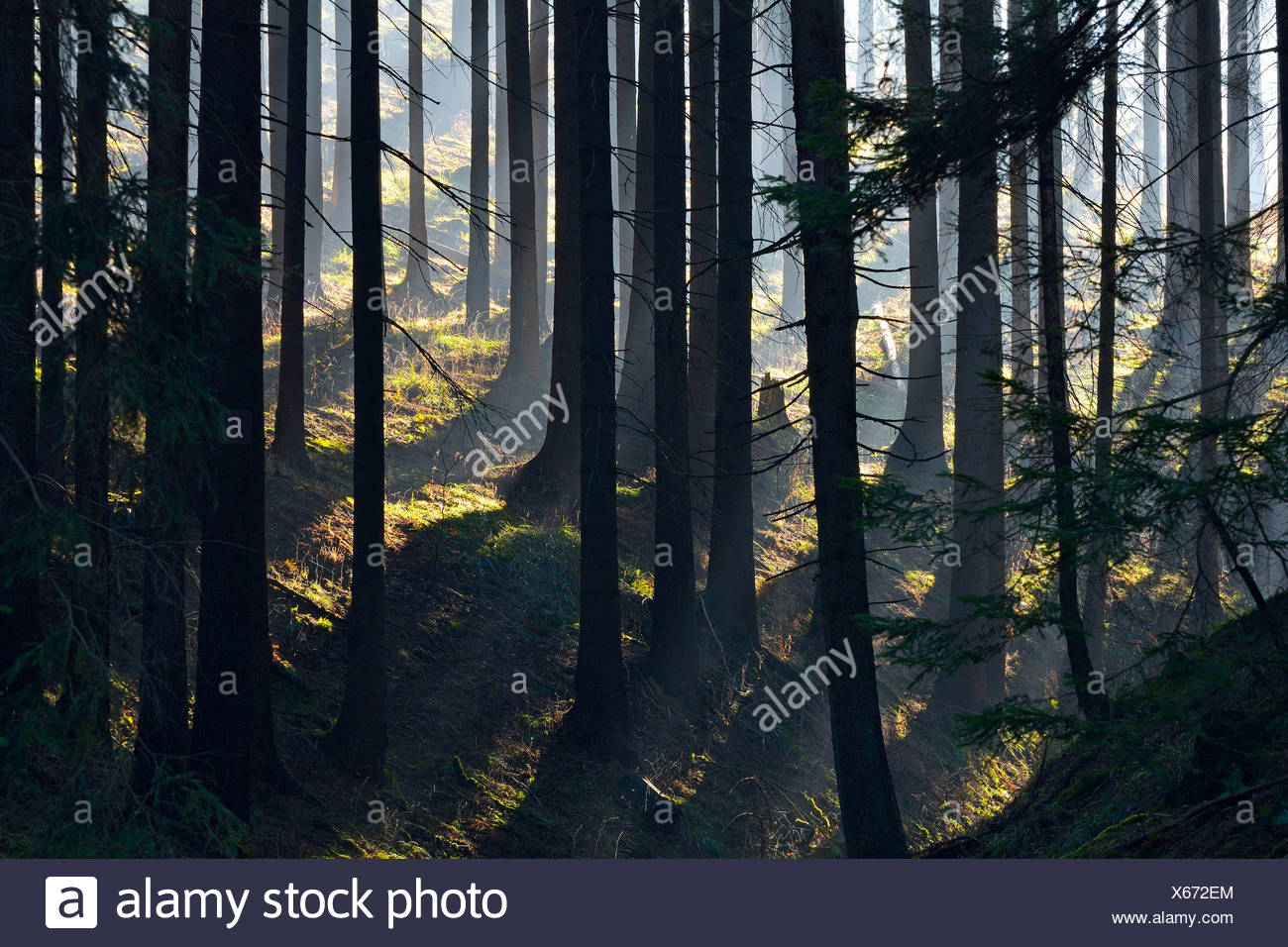 Norway spruce (Picea abies), morning haze in the coniferous forest, Germany, Lower Saxony, Harz Stock Photo