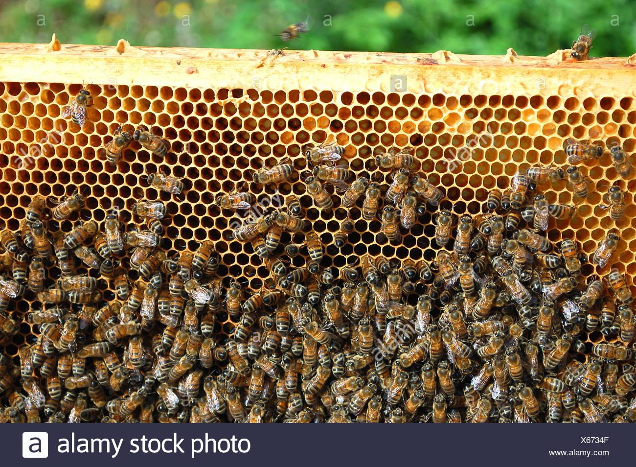 animal, insect, wild, bees, apiary, wallpaper, honeycomb, nature, macro, - Stock Image