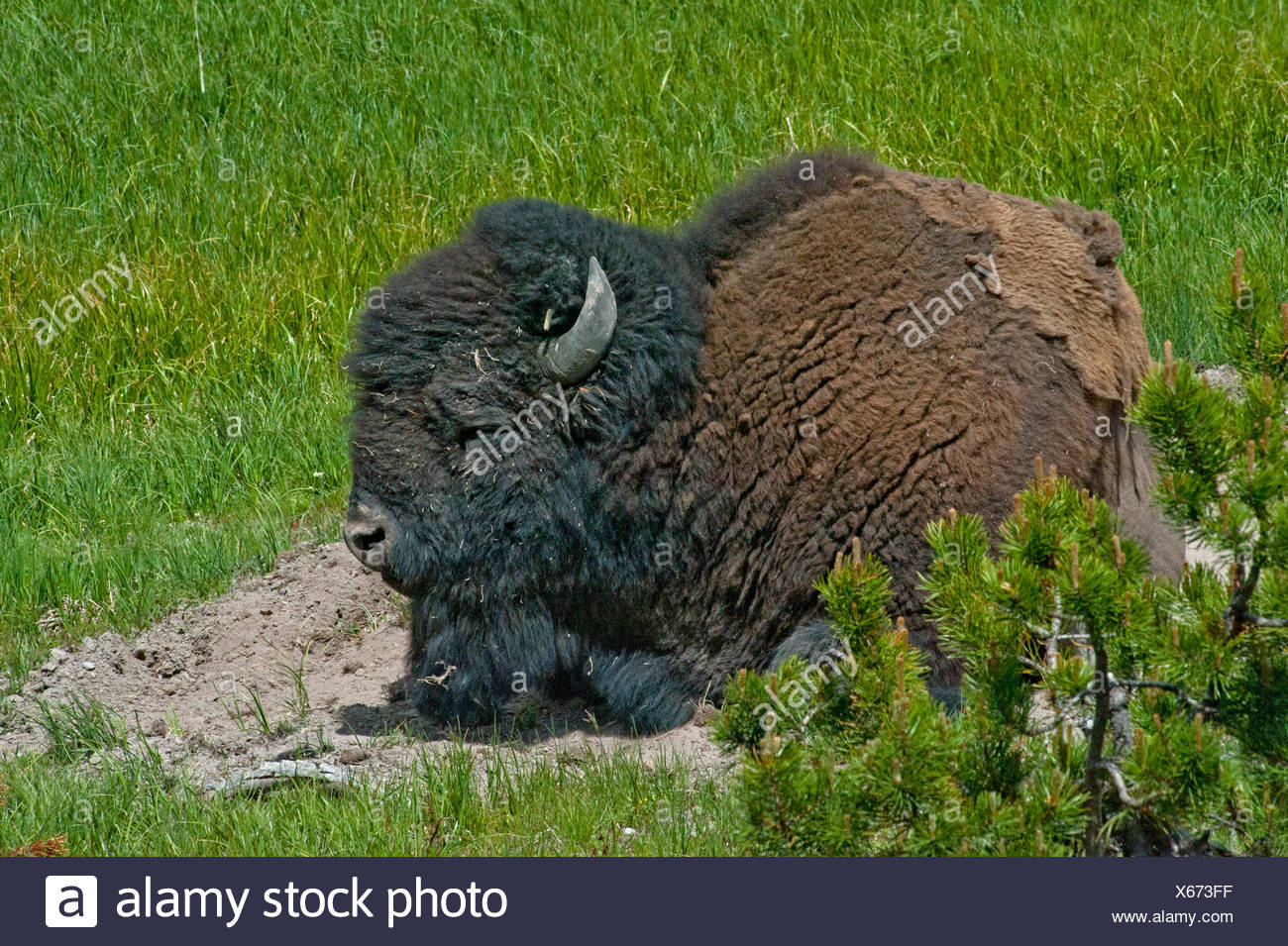 An American bison naps in a dust wallow. - Stock Image