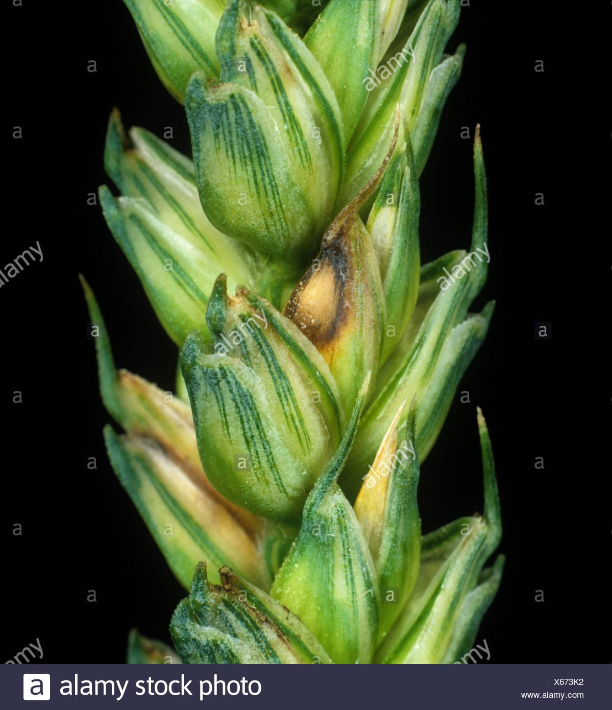 Head scab or ear blight (Fusarium poae) infected grain on