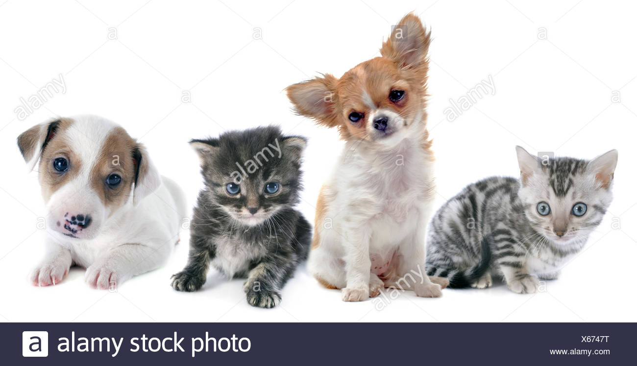 Puppy And Bengal Cat High Resolution Stock Photography And Images Alamy