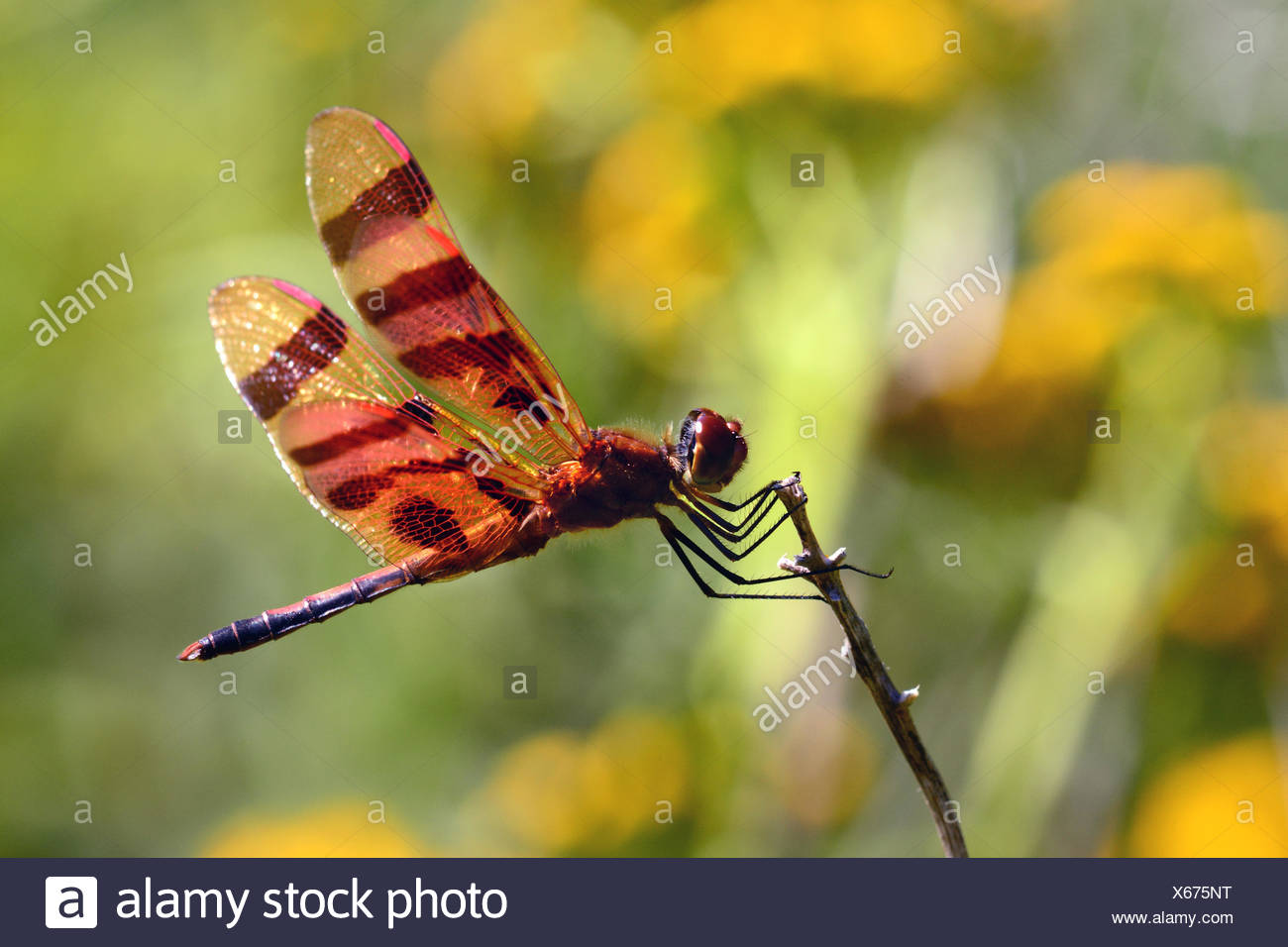 A male Halloween pennant dragonfly perches on a twig. - Stock Image