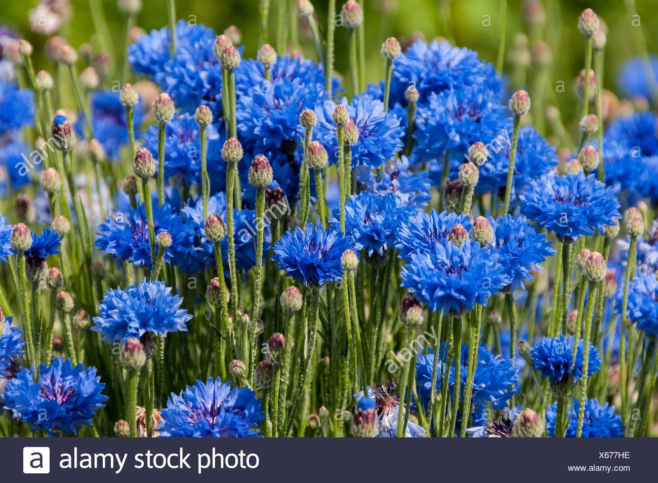 Blue cornflowers (Centaurea cyanus), Dreieich-Goetzenhain, Hesse Stock Photo