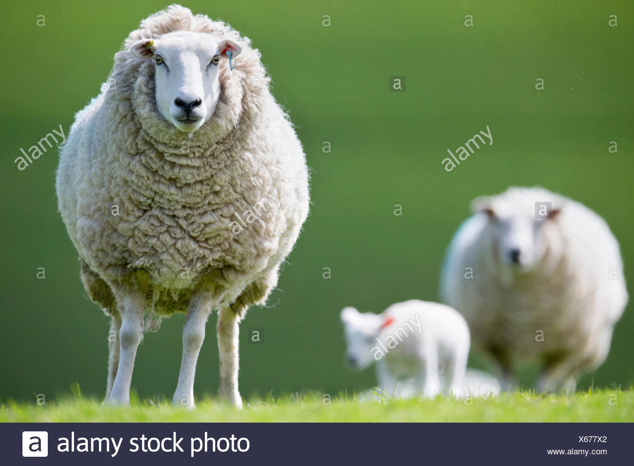 Portrait sheep in spring grass - Stock Image