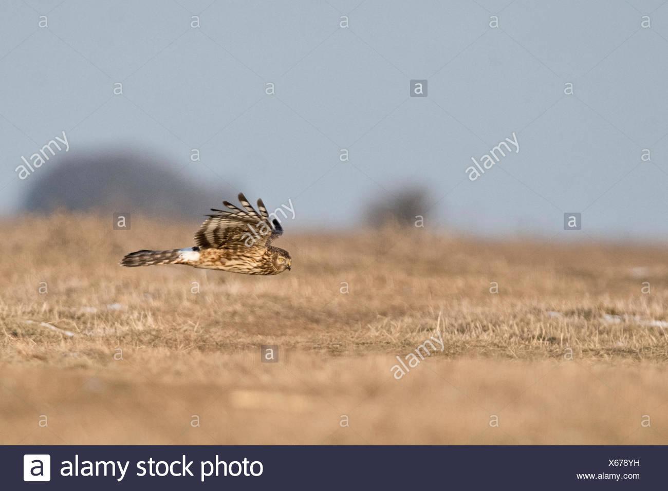 Hen Harrier Circus cyaneus female hunting over plain Hortobagy, Hungary winter Stock Photo