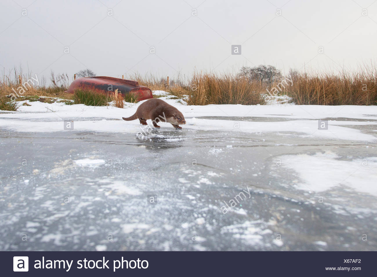 European river otter, European Otter, Eurasian Otter (Lutra lutra), female in the snow on a frozen up ice sheet, Germany - Stock Image