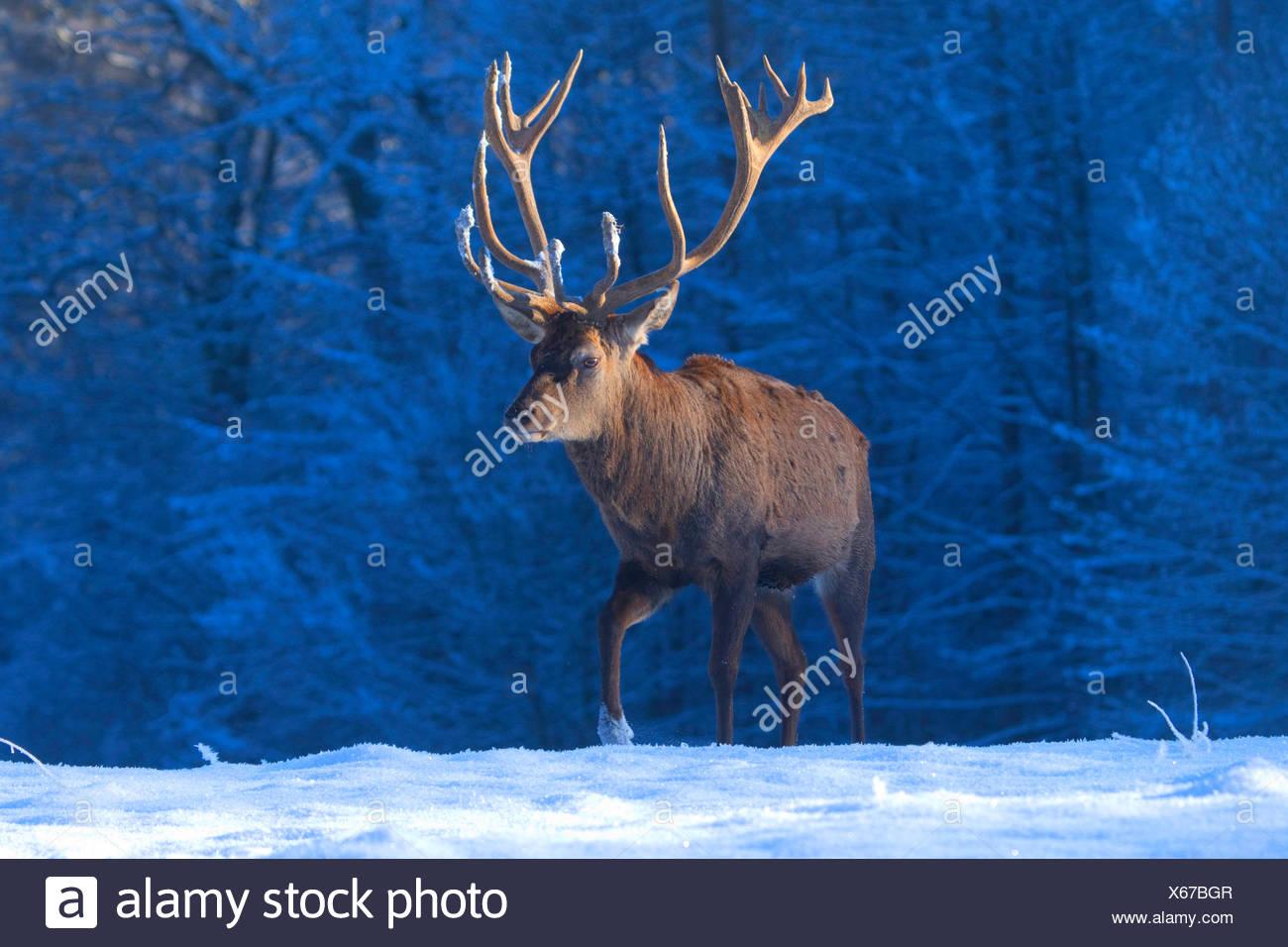 red deer (Cervus elaphus), stag in winter, Germany, North Rhine-Westphalia - Stock Image