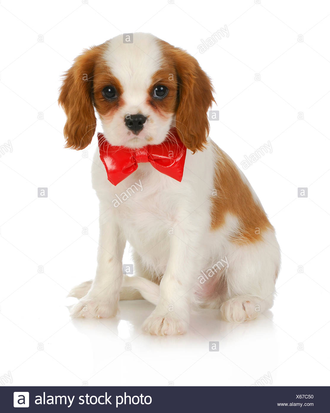 Cute Puppy Cavalier King Charles Spaniel Wearing Red Bowtie Sitting On White Background Stock Photo Alamy