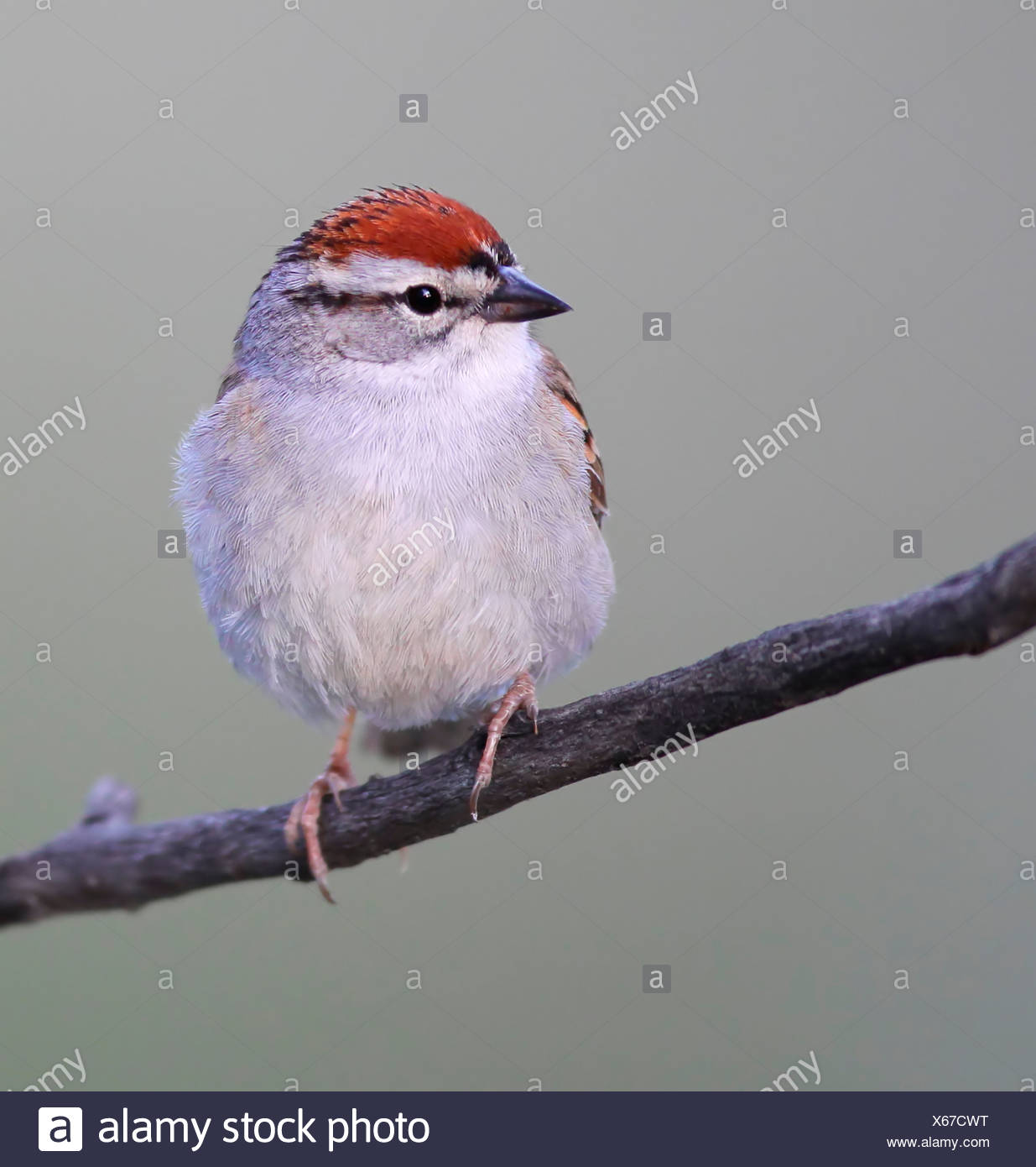 Chipping Sparrow Perch, Spizella passerina - Stock Image