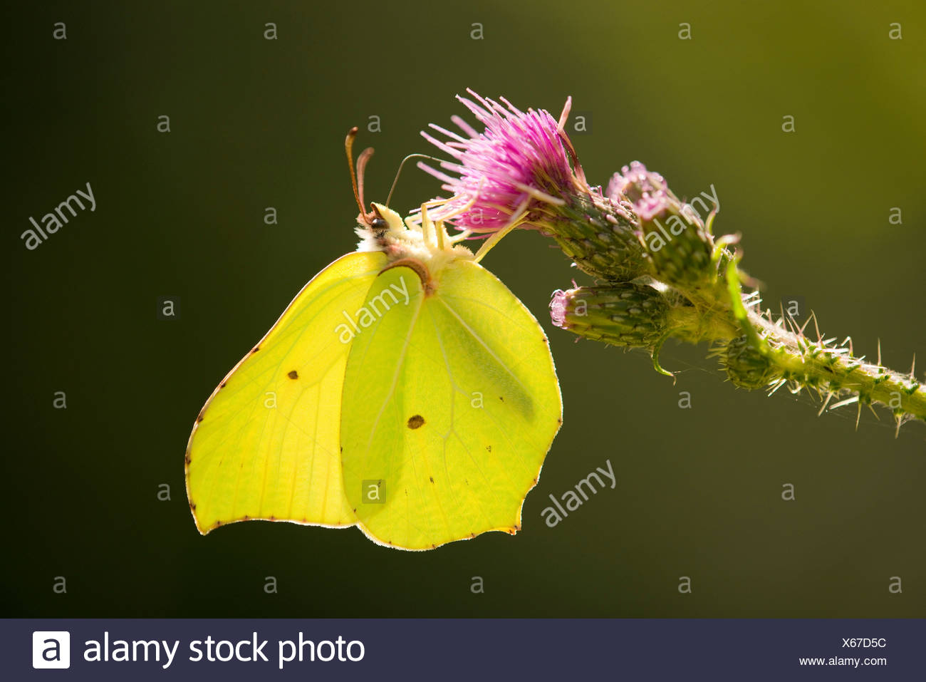 Brimstone (Gonepteryx rhamni) sucking nectar, Lower Saxony, Germany - Stock Image