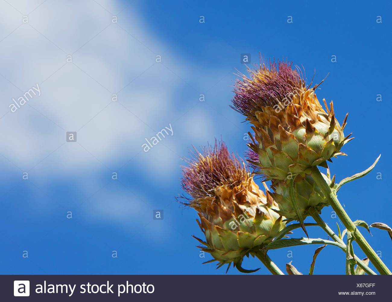 blue, wild, flora, botany, thistle, parachute, artichoke, edible, herb, seed, Stock Photo