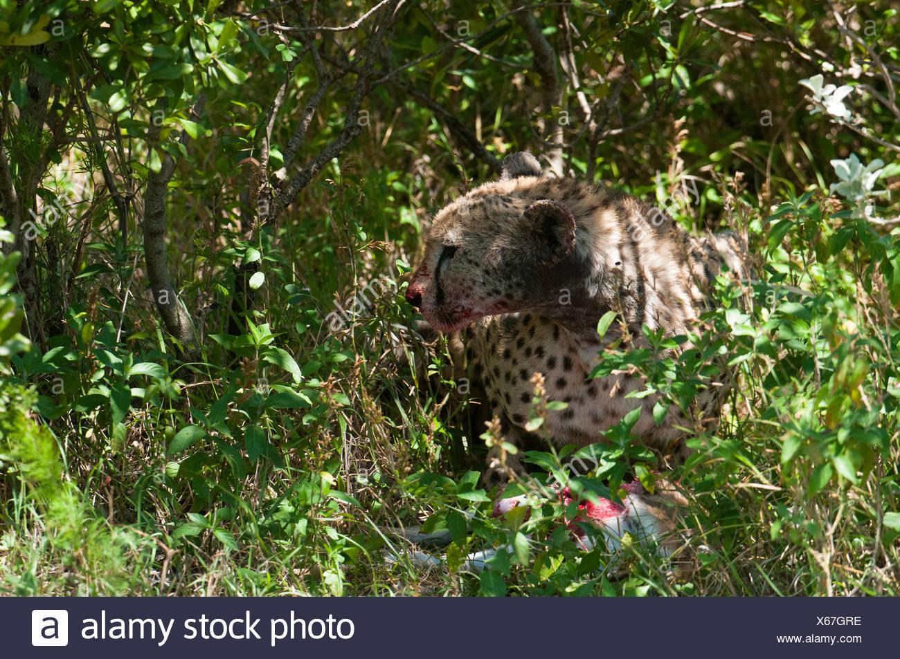 Cheetah (Acinonyx jubatus), Masai Mara, Rift Valley Province, Kenya Stock Photo