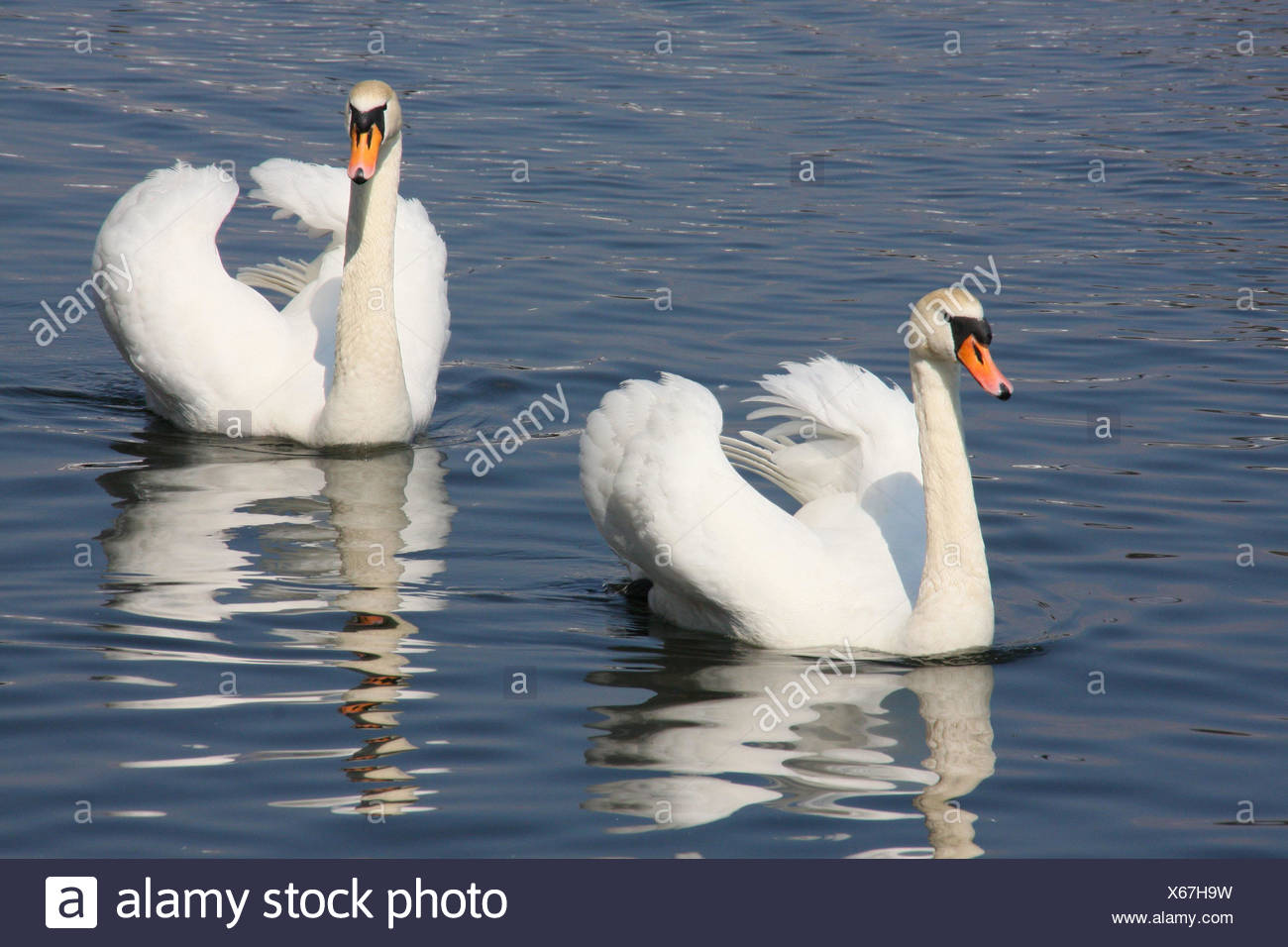 Lake, swans, couples, animals, hump swans, birds, two, swim, couple, in pairs, Poland, nature, - Stock Image