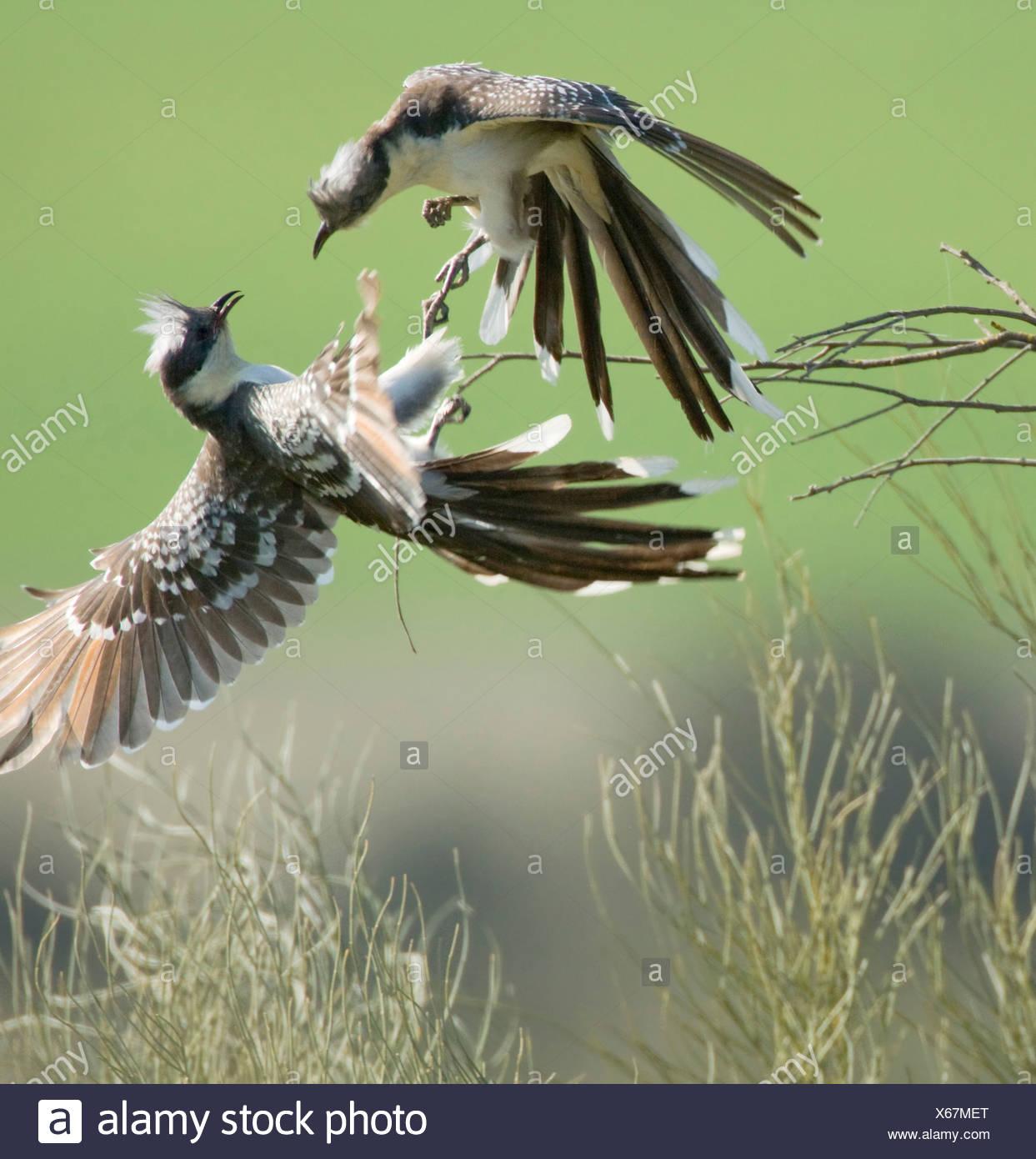 Kuifkoekoeken vechtend voor het terrritorium; Great spotted cuckoo's fighting for the territory - Stock Image