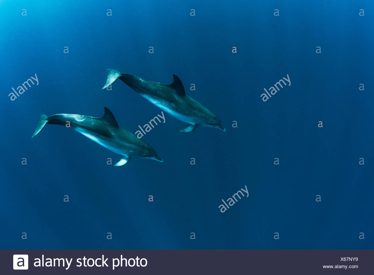 Pair of atlantic spotted dolphins (stenella frontalis) swimming in ocean, Isla Mujeres, Mexico - Stock Image