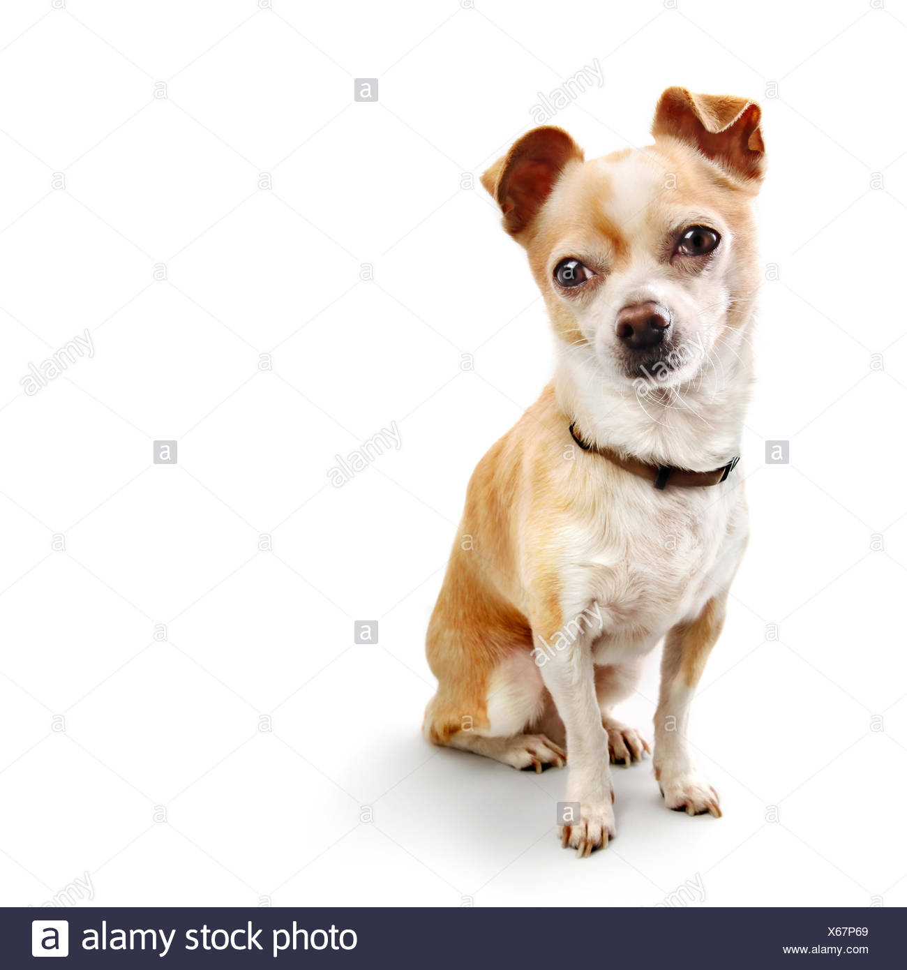 Single chihuahua poses on white with shadow - Stock Image