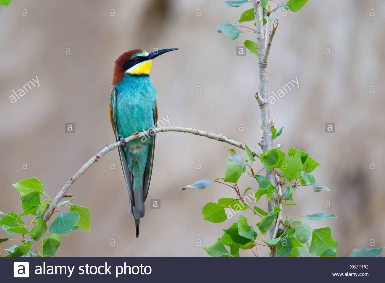 Bee-eater (Merops apiaster) sitting on twig - Stock Image