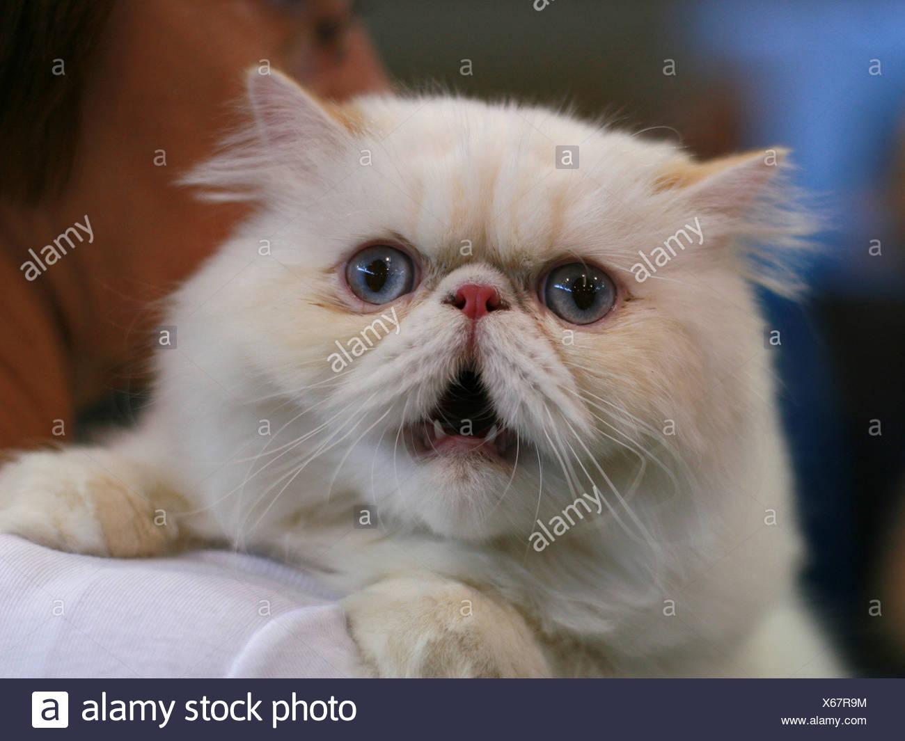 Pedigree Cat - portrait of a Fluffy Persian cat Stock Photo