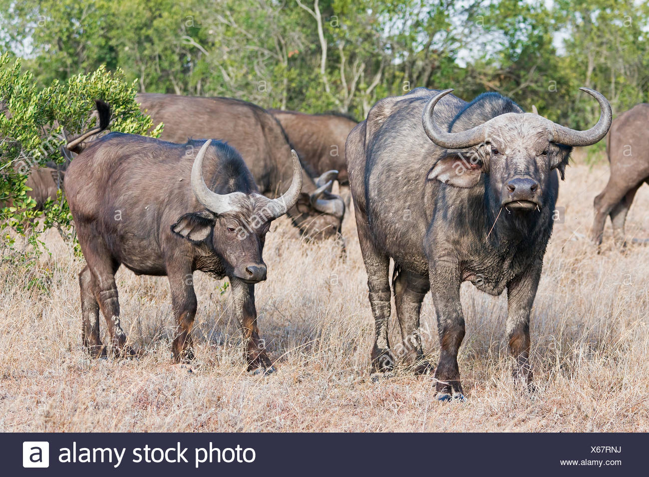 Cape buffalos (Syncerus caffer), Ol Pejeta Reserve, Kenya - Stock Image
