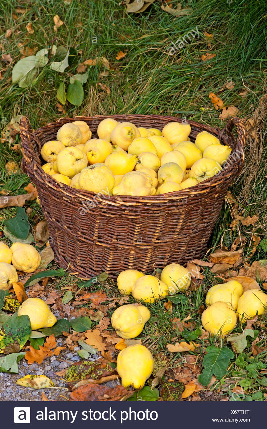 Quinces harvest in a basket Stock Photo