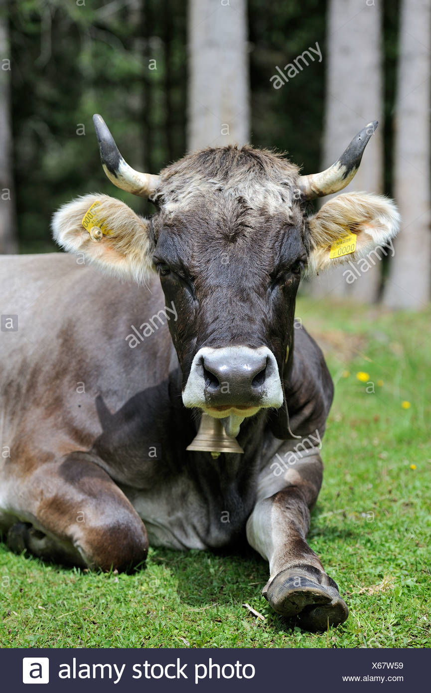 Portrait, Tyrolese Grey Cattle (Grigio Alpina), Stubaital Valley, Tyrol,  Austria