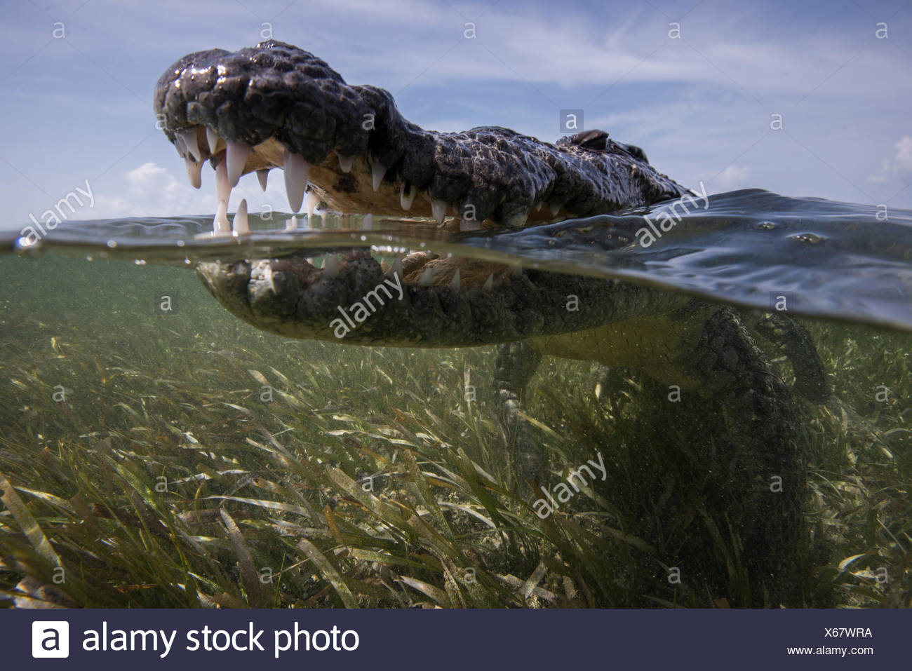 Close up of open mouthed american croc (Crocodylus acutus) at sea surface, Chinchorro Banks, Mexico - Stock Image