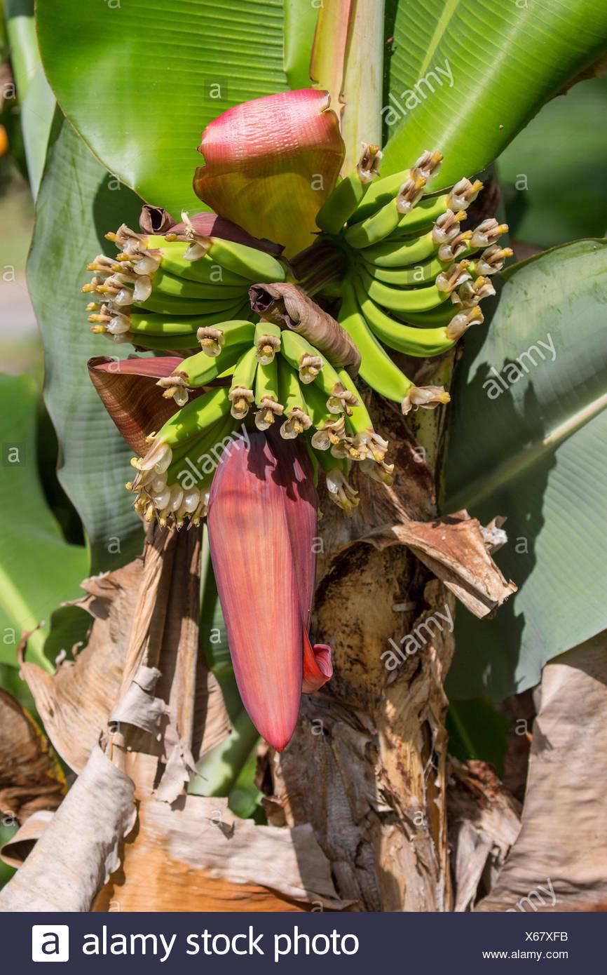 common banana (Musa paradisiaca var. sapientum), inflorescence, USA, Florida - Stock Image